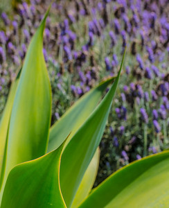 FOUR SEASONS FRONDS AND LAVENDER
