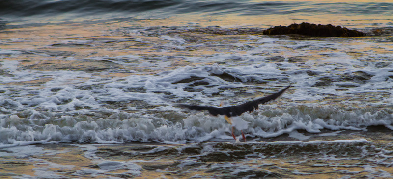 Santa Barbara Ocean GULL