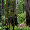 Dorothy in Redwoods-