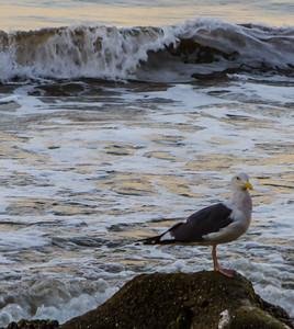Santa Barbara Ocean BIRD