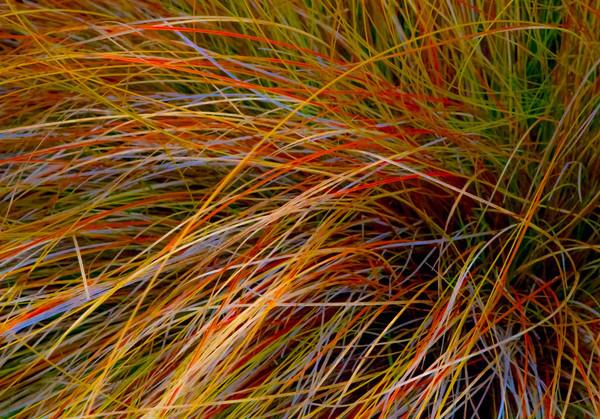 Bent Grass 4