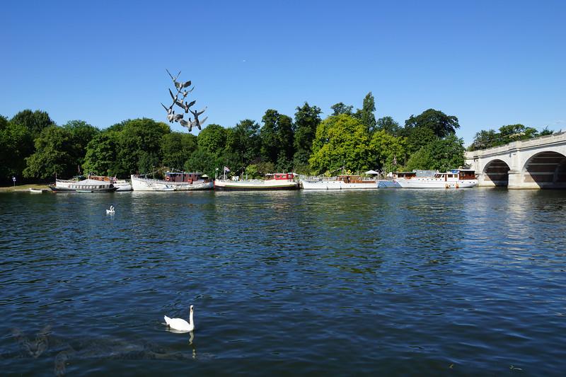 River Thames at Kingston - Flock of Mallard Ducks