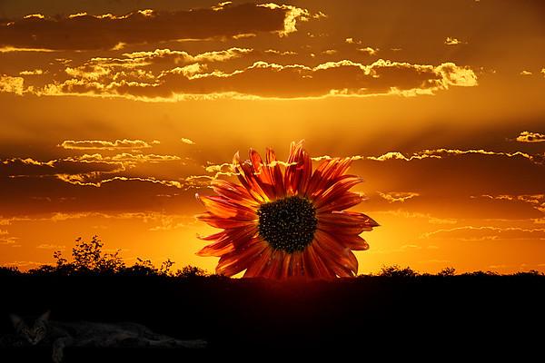 Namibia Sunflower Sunset