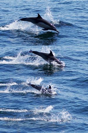 Long Beaked Common Dolphin off California