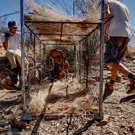 Cage Trap Baited