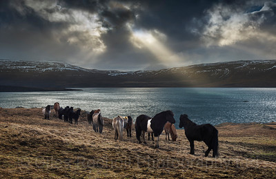 Icelandic horses in the golden circle, Iceland Photo Tour February 2017
