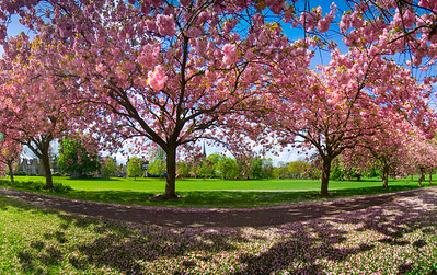 Spring cherry blossom the Stray, Harrogate, North Yorkshire, United Kingdom