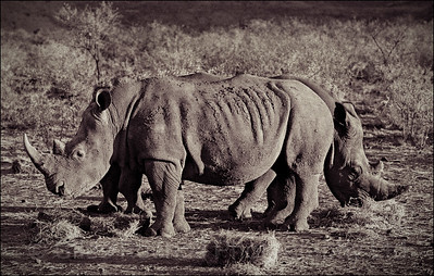 White rhino near Queenstown, South Africa 1987-1991