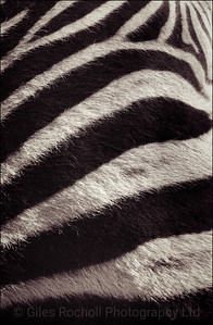 Zebra skin, Queenstown, South Africa 1987-1991