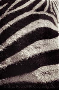 Zebra skin, Queenstown, South Africa 1987-1991