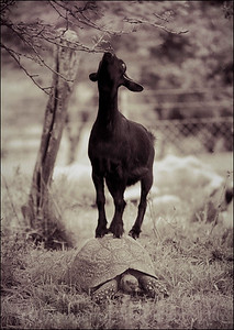 Cheeky goat and tortoise, near Cape Town, South Africa 1987-1991
