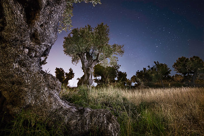 A Majorcan olive grove, near Pollenca, Majorca. June 2018.