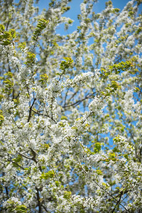 White spring blossom, Kirkstall Abbey, Leeds West Yorkshire, United Kingdom.