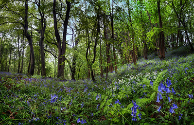 Bluebells and wild garlic, Hackfall, near Masham, North Yorkshire, United Kingdom