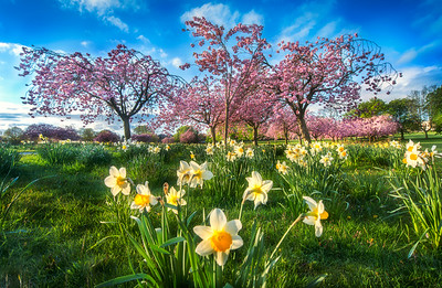Spring cherry blossom and daffodils, Harrogate, North Yorkshire, United Kingdom