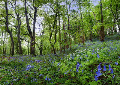 Wild garlic and bluebells, Hackfall, near Masham, North Yorkshire, United Kingdom