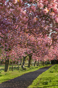 Cherry blossom the Stray, Harrogate, North Yorkshire, United Kingdom