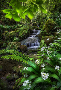 Wild garlic and spring stream, Hackfall, near Masham, North Yorkshire, United Kingdom