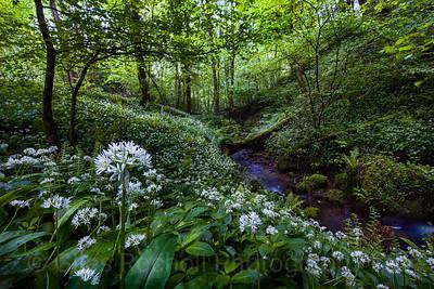 Wild garlic and spring stream, Hackfall, near Masham, North Yorkshire, United Kingdom