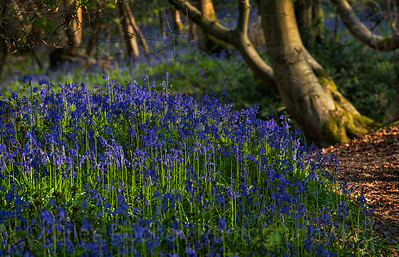 Bluebells, Hackfall, near Masham, North Yorkshire, United Kingdom
