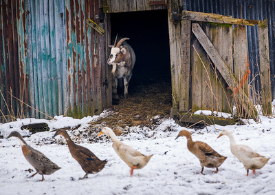 OTLEY_FARM_ANIMALS