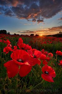 Poppies Towton, near Tadcaster, North Yorkshire, United Kingdom