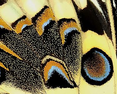 25 Papilio Demodocus 80X100
