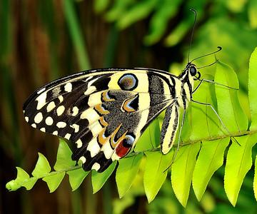 24 Papilio Demodocus 50X60