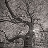 Bur Oak, Sugar Grove Nature Center, McLean, Illinois