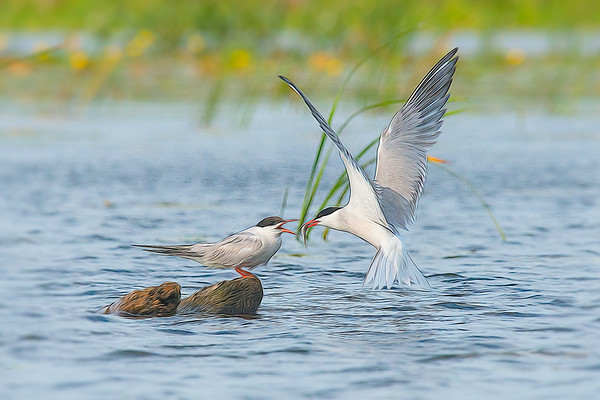 Common Tern hovers to feed fish to chick in marsh • Lakeview WMA, NY • 2015