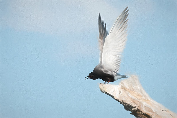 Black Tern lifts majestic wings from driftwood perch • Lakeview WMA, NY • 2015