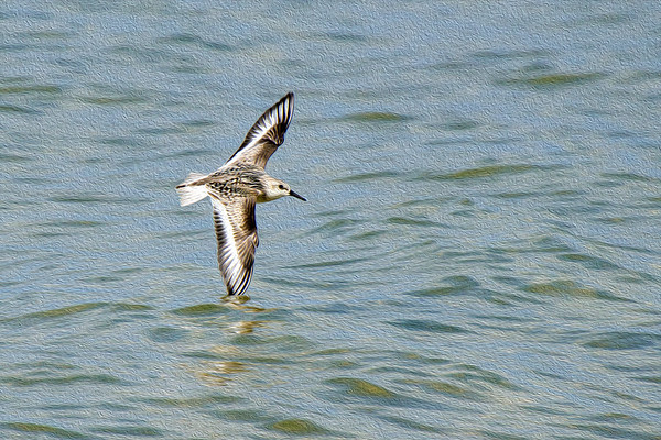 Sanderling in flight dips wingtip in water • Sandy Pond, NY • 2011