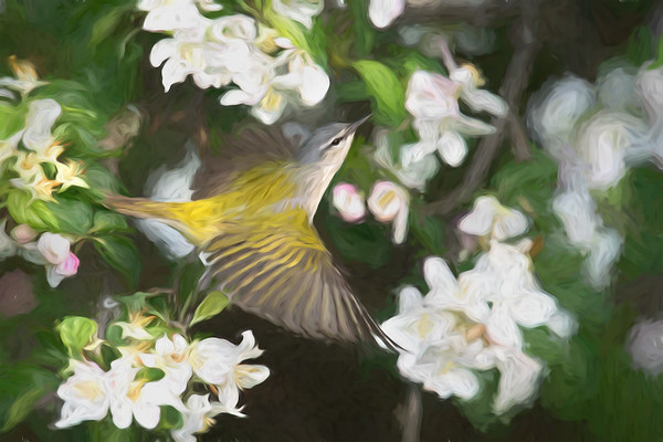 Tennessee Warbler male takes flight in blooming apple tree • my back yard, Navarino NY • 2018