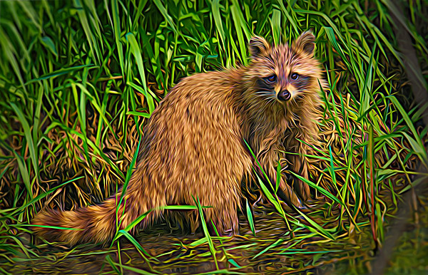 Raccoon faces camera for swamp pose • Howland Island, Northern Montezuma WMA • 2018