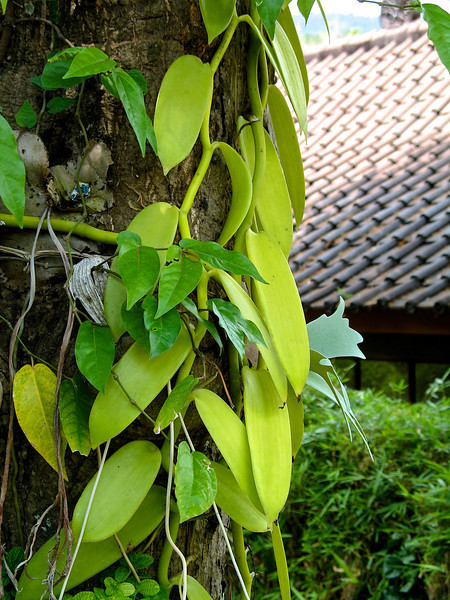 This is a vanilla orchid growing on a tree outside a villa.