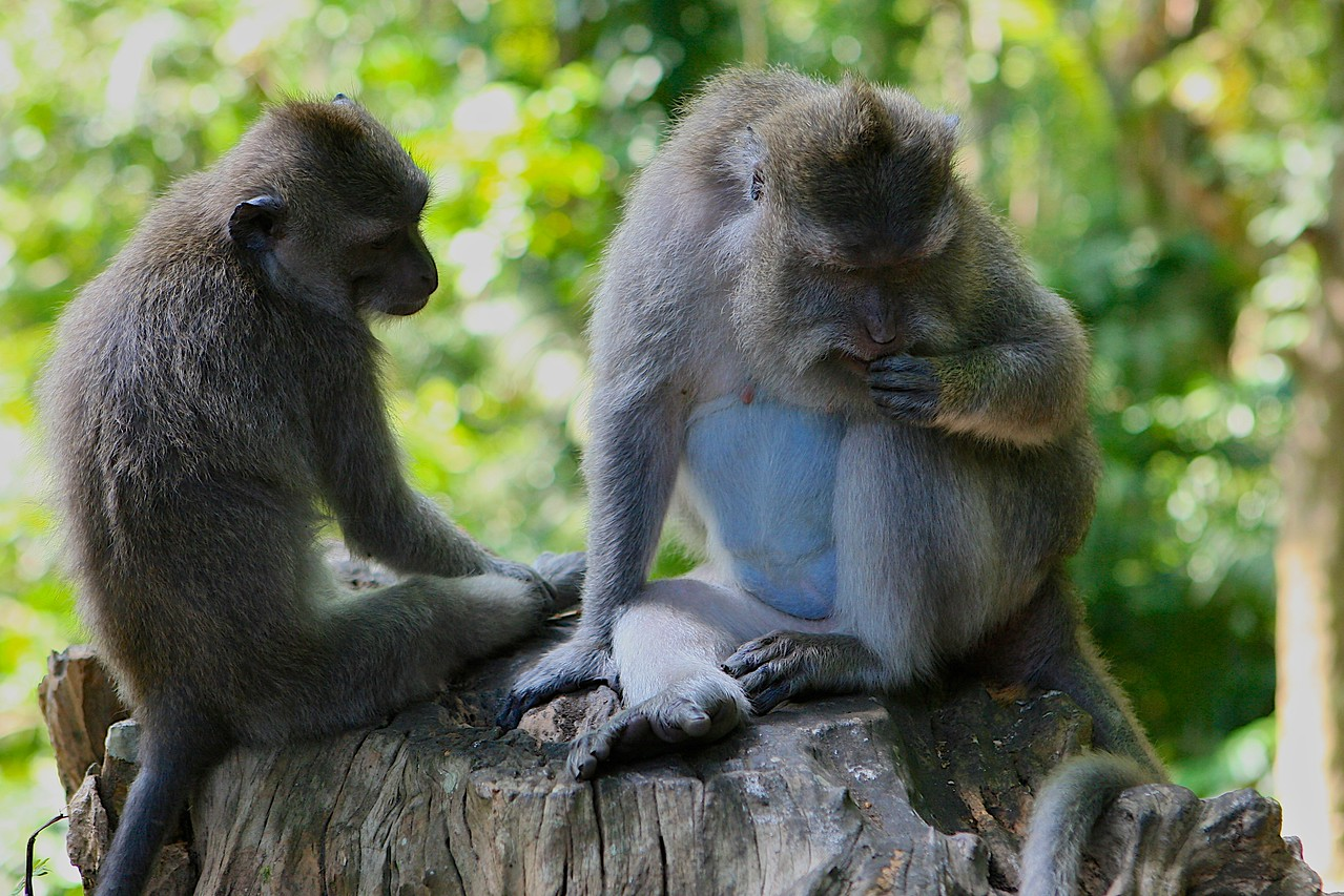 The Ubud Monkey Forest is a nature reserve and temple complex in Ubud. The complex houses approximately 340 Crab-eating Macaque (Macaca fascicularis) monkeys.