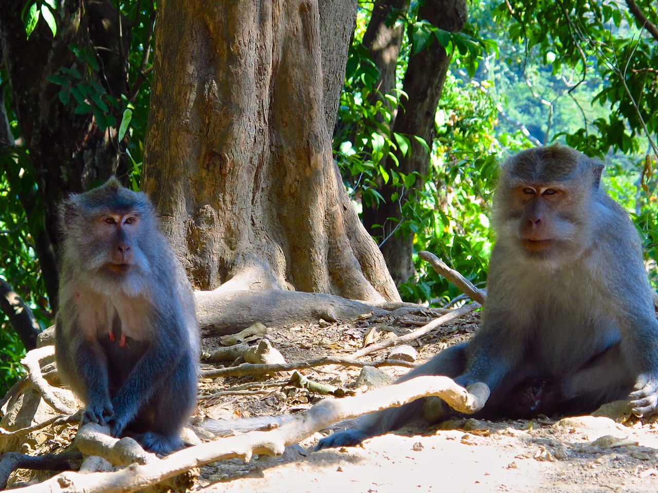 On the north part of Lombok is Baun Pusuk, the monkey forest.  Friendly monkeys line the forest and road side.