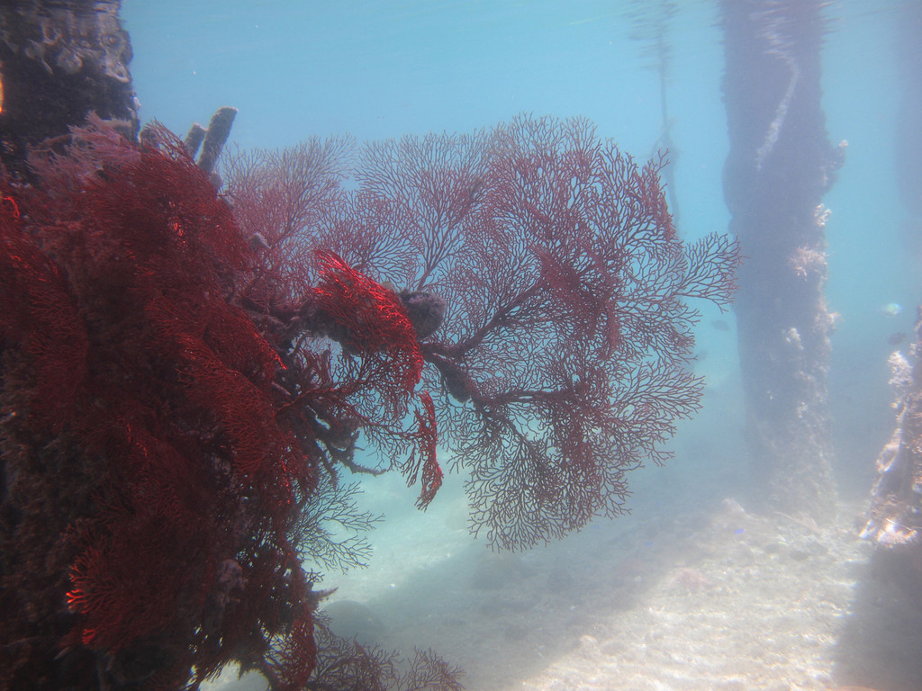 "Towards the end of the dock, there's a ""window"" where you can look directly down into the reef.  Here you can see all kinds of sealife, including this red fan coral."