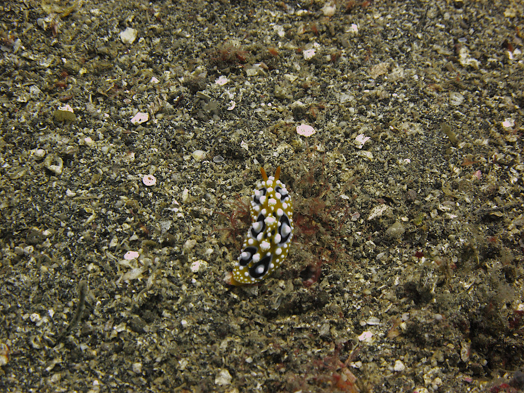 A nudibranch or sea slug.   In the course of evolution, sea slugs have lost their shell because they have developed other defense mechanisms.  Many resemble the texture and color of the surrounding plants, allowing them to camouflage