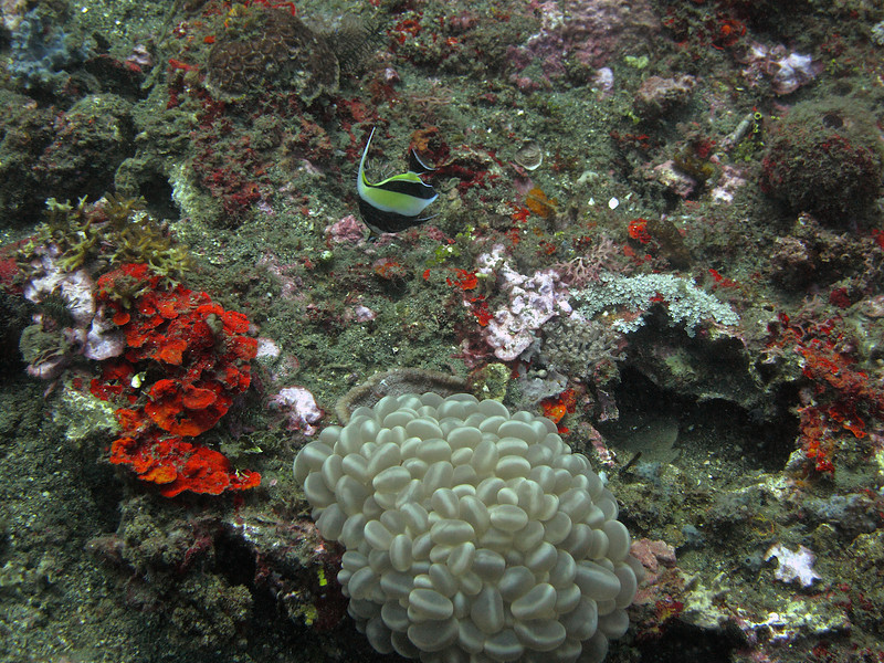 An angel fish with egg coral in the foreground.