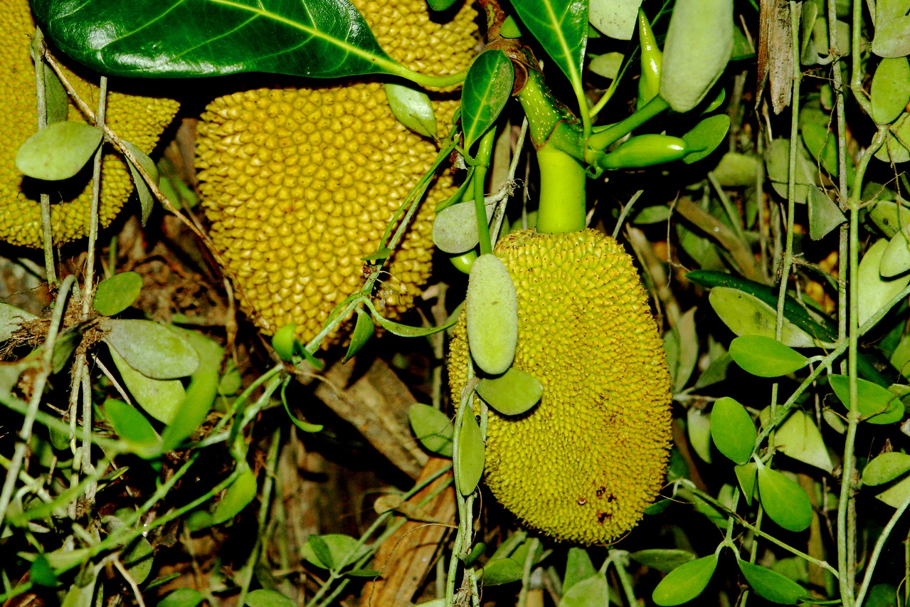 This is a jackfruit tree outside the front of their home.