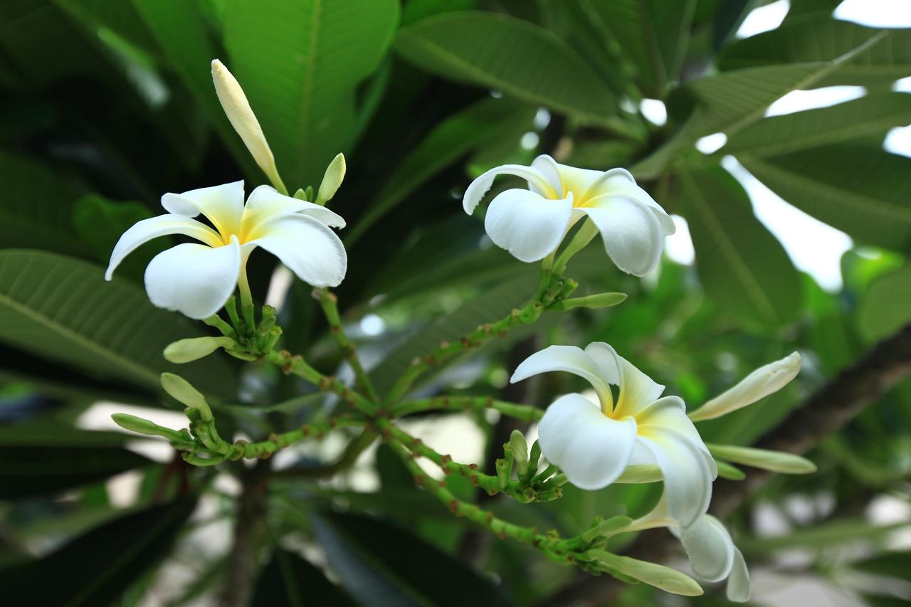Just like in Hawaii, plumeria trees are everywhere.