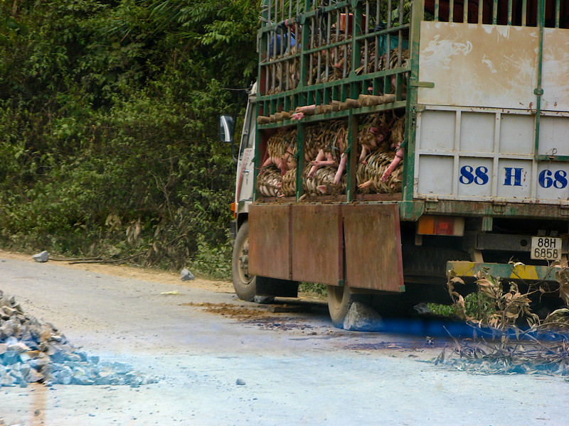 In Vietnam, you'll see all kinds of interesting things along the country roads, such as this truck full of animal parts that has broken down on the side of the road.