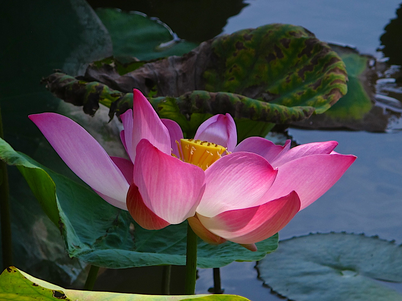 Researchers report that the lotus has the remarkable ability to regulate the temperature of its flowers to within a narrow range just as humans and other warmblooded animals do. They suspect the flowers may be doing this to attract coldblooded insect pollinators.