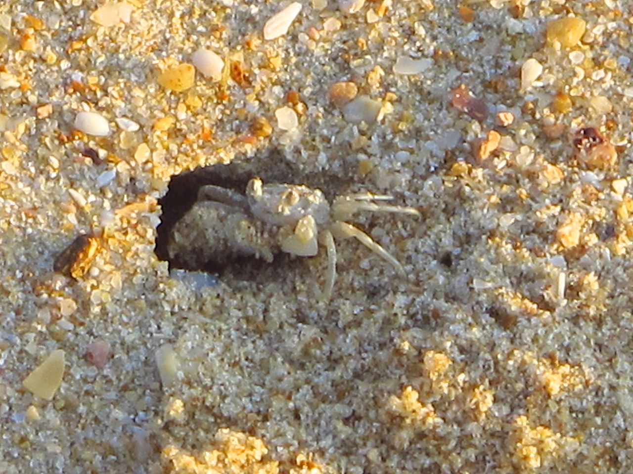Ghost crabs are about as large as a quarter.