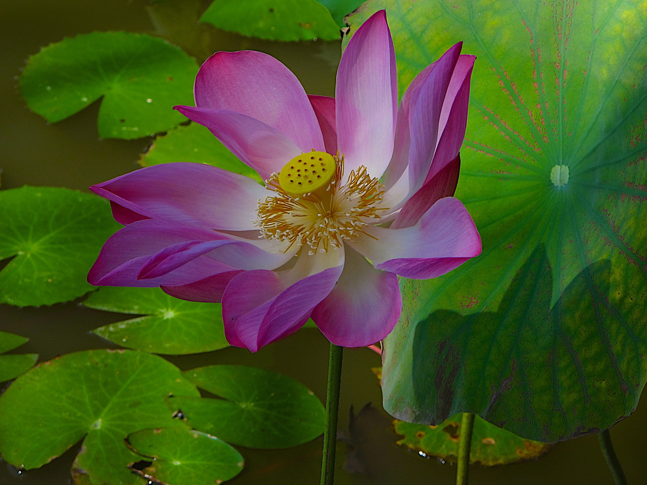 An individual lotus can live for over a thousand years and has the rare ability to revive into activity after stasis. In 1994, a seed from a sacred lotus, dated at roughly 1,300 years old was successfully germinated.