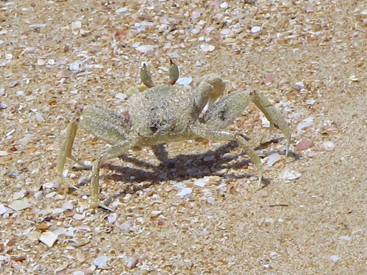 There are also larger crabs that are the size of a small desert plate.