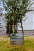 JP 542  Olive tree planted by the Embassy of Israel to Japan, November 14, 2009