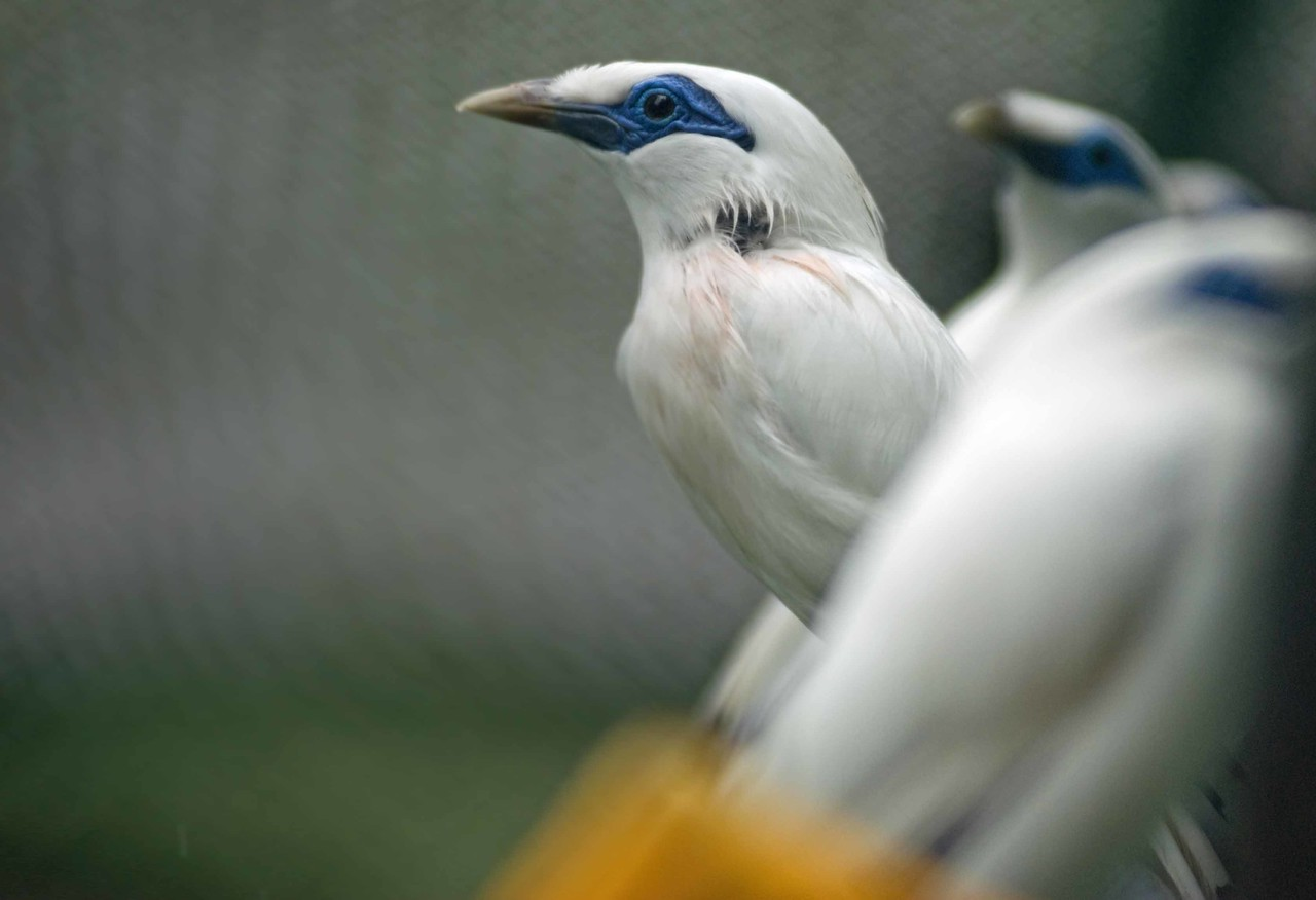 Only 20 Bali white starlings exist in the wild and West Bali National Park is the only place they can be seen.