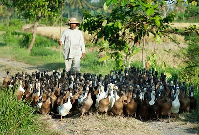 West Bali duck-herder